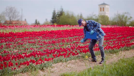 Farmer Working at Tulips Field at Flowers Production Farm