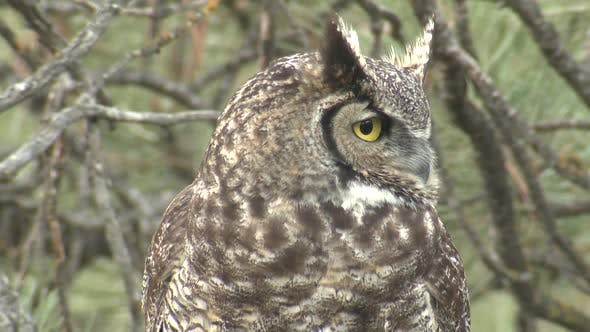 Thumbnail for Closeup of Great Horned Owl Bird Looking At Camera with Big Round Eyes