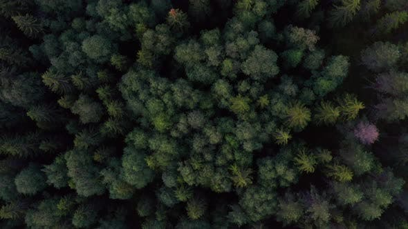Drone Flying Above an Evergreen Forest in Norway