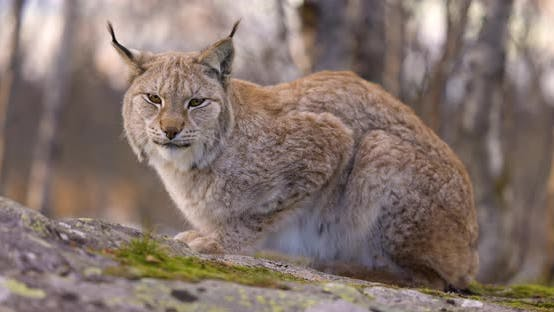 Sideview of a Eurasian Lynx Lying on a Rock in Forest Looking for Prey