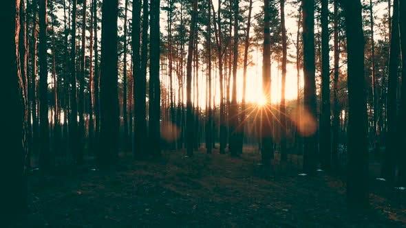 Beautiful Sunrise Sun Sunshine In Sunny Spring Coniferous Forest. Sunlight Sunbeams Through Woods In