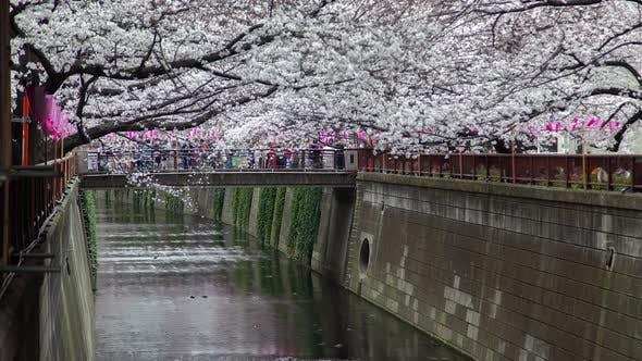 Cherry Blossom Meguro River Tokyo Bridge Timelapse
