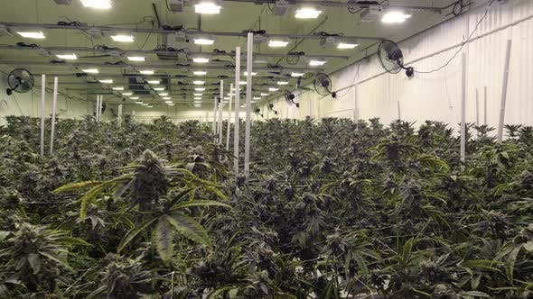 Thumbnail for Endless Marijuana Plants Growing In Commercial Cannabis Warehouse Steadicam Motion