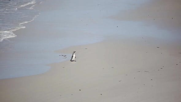 Thumbnail for Penguin on a Sandy Beach at Volunteer Point in the Falkland Islands (Islas Malvinas).