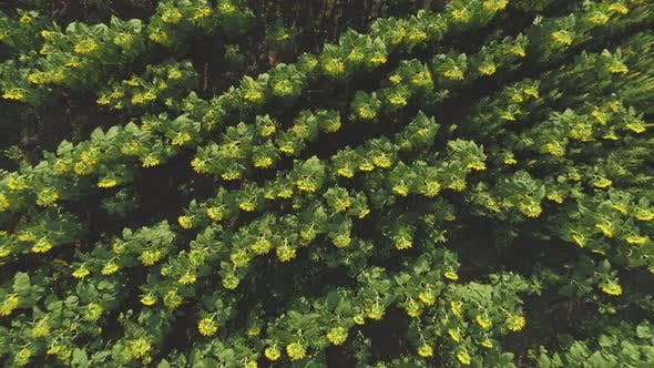Top View of Sunflower Field Cultivated Agricultural Crops Drone View