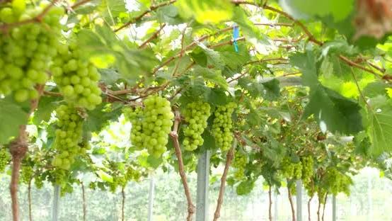Thumbnail for Fresh Green grape farm garden