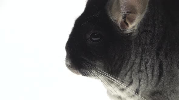 Thumbnail for Wide Full Body Side View of a Cute Grey Chinchilla Isolated on a White Studio Background. Close Up.