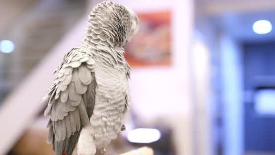 Thumbnail for African Grey Parrot