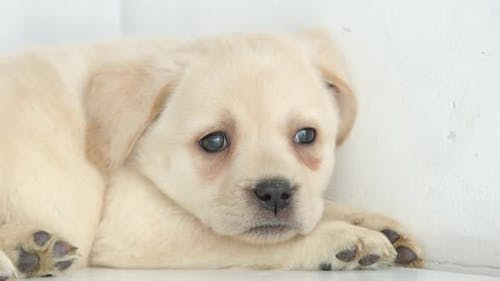 Close shot of head of labrador puppy rests on a floor