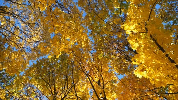 View To Tree Tops with Yellow Maple Leaves with Bright Blue Sky at Background. Crowns of Plants with