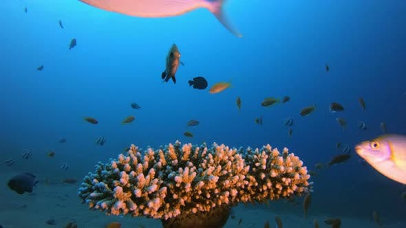 Thumbnail for Reef Coral Scene