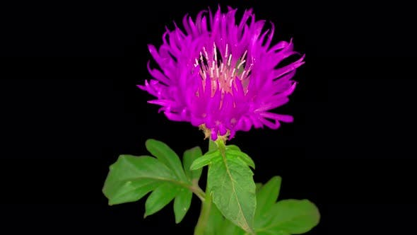 Thumbnail for Time Lapse of Blossoms Purple Flower of Persian Cornflower Centaurea Dealbata