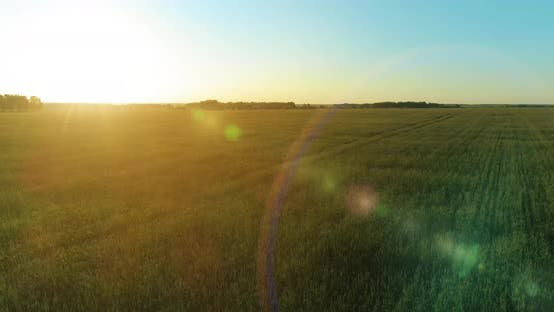 Cover Image for Low Altitude Flight Above Rural Summer Field with Endless Yellow Landscape at Summer Sunny Evening