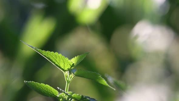 Growing Mint.