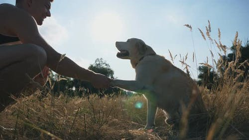 Labrador or Golden Retriever Sits on Grass and Gives Paw To His Male Owner. Man Trains Dog Outdoors