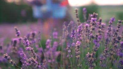 Beautiful Purple Flowers in Lavender Meadow