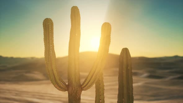Saguaro Cactus on the Sonoran Desert in Arizona