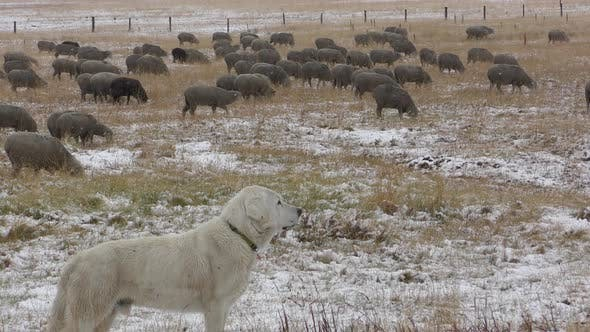 Thumbnail for Domestic Sheep Flock Walking and  Sheepdog Guard Dog White Sheperd