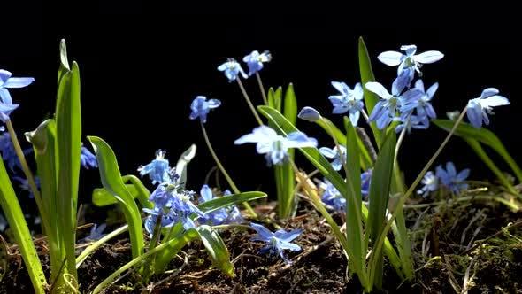Beautiful Blooming Blue Flowers in Spring