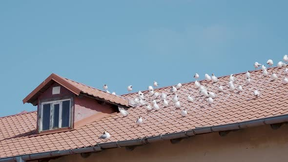 Thumbnail for Seagulls Are Sitting on Red Tiled Roof. Sunny Day in Seaside Town.