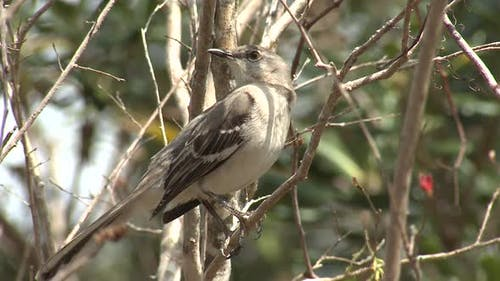 Northern Mockingbird Adult Lone Perched Looking Around in Winter