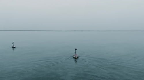 Grey Swan with Birds Flock Swims About Tranquil Winter Sea