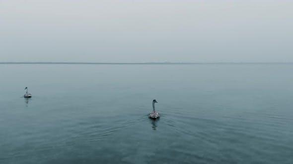 Cygne gris avec oiseaux troupeau nage à propos de la mer d'hiver tranquille