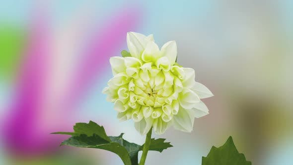 Dahlia Flower Blossoming 1