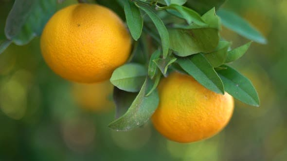 Cover Image for Juicy Tasty Oranges Hanging on an Orange Tree