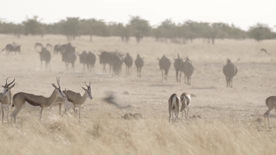 Thumbnail for Savannah Full of Antelopes