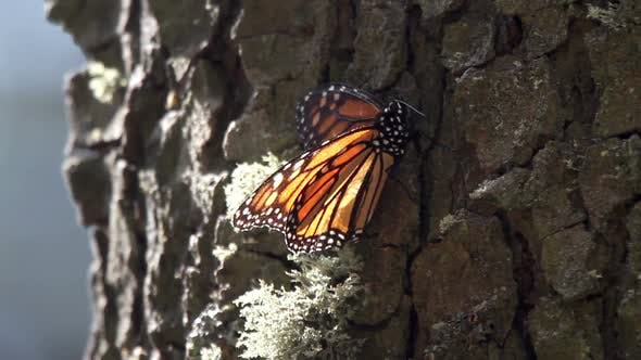 Thumbnail for monarch butterfly sanctuary mexico