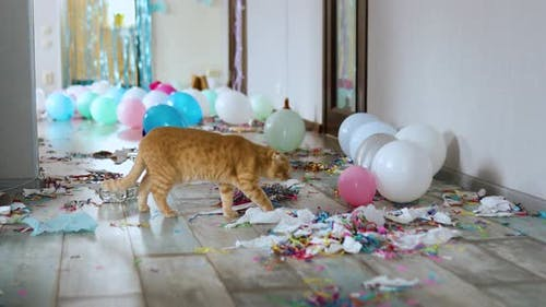 Scared, surprised cat walks on wooden laminate after party chaos, messy