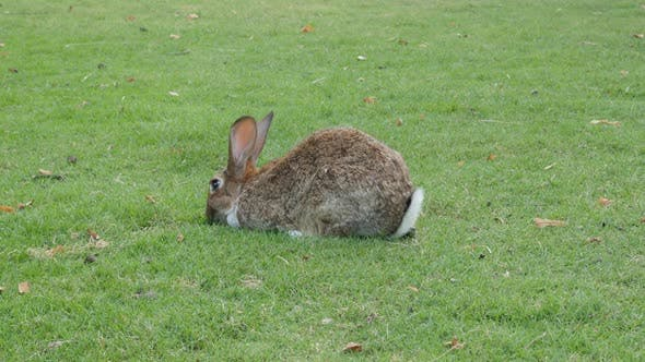 Thumbnail for Rabbit chewing grass in the field 4K 3840X2160 UltraHD footage - Hare relaxing outdoor in the garden