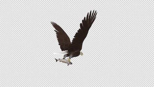 Bald Eagle with Salmon Fish - 4K Flying Loop - Back Angle
