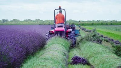 Tractor Cuts the Lavender Plants