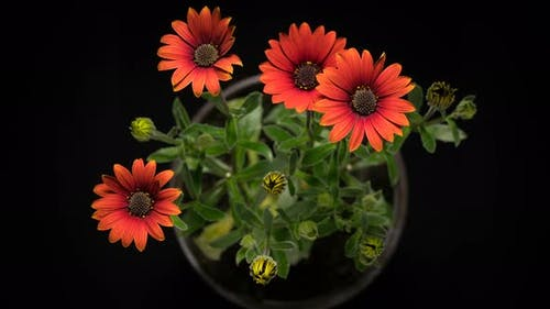 Coral Osteospermum Blooming Red African Daisy
