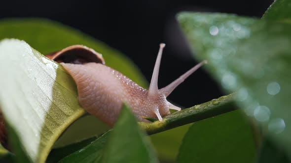 Thumbnail for Close-up of a Snail on a Plant with Dew