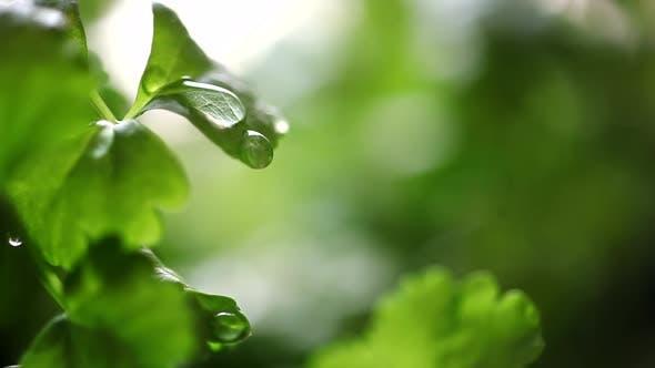 Thumbnail for Celery Seedling at Rain