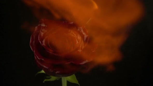 Thumbnail for The Rose is on Fire