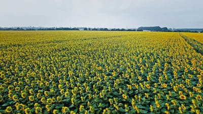 Agriculture Field with Blooming Sunflowers