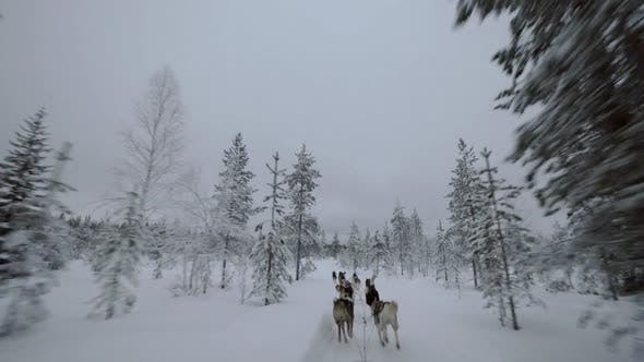 Thumbnail for Dogsled Running in Winter Pine Wood