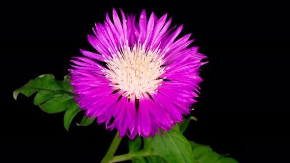 Cover Image for Time Lapse of Blossoms Purple Flower of Persian Cornflower Centaurea Dealbata