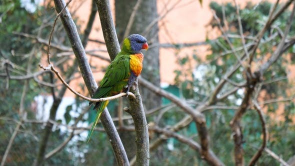 Thumbnail for Superb parrot sitting on a brunch of a tree.