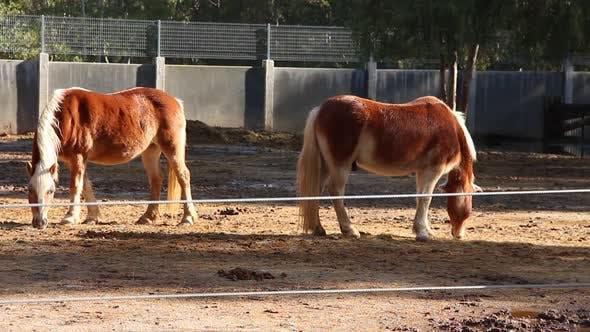 Thumbnail for Brown Horses Eating
