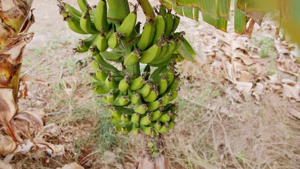 Bananas on Banana Tree