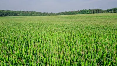 Aerial View of Corn Crops Field From Drone Point Of View