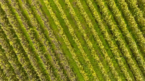 Thumbnail for Aerial Flight Above Vineyards