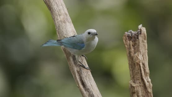 Thumbnail for Blue-gray Tanager Adult Lone Perched Flying in Panama