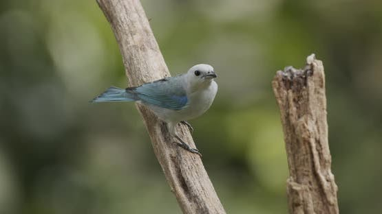 Blue-gray Tanager Adult Lone Perched Flying in Panama