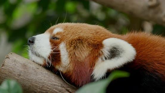 Thumbnail for Red Panda sleep on the tree